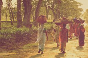 Industria del té de Assam lucha por sobrevivir