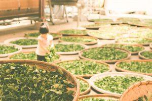 Aumenta el trabajo infantil en las plantaciones de té en Uganda